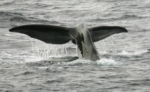 Un cachalot plonge le 01 juillet 2007 dans les mers Australes au large de l'archipel des Crozet. (Photo illustration).