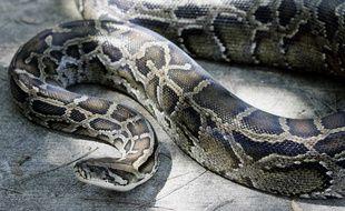 Illustration: Un python géant.