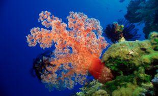 Illustration de coraux