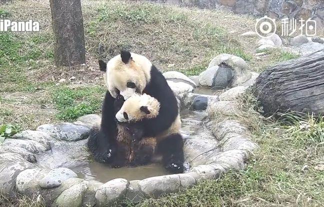 Maman et bébé panda dans le bain
