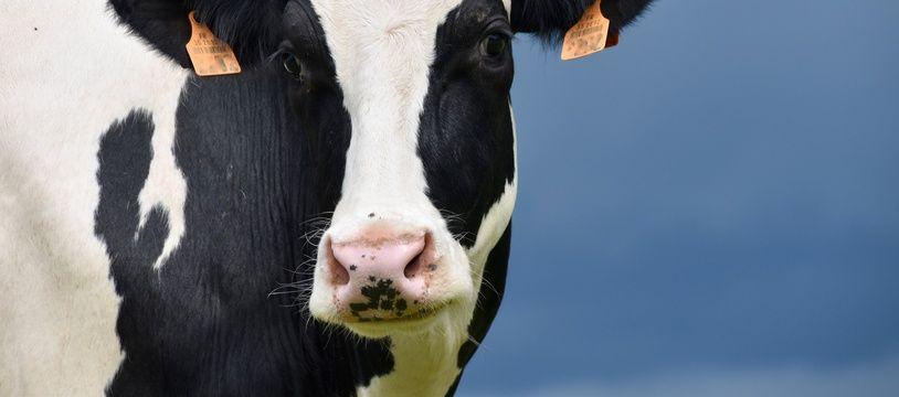 Une vache. Illustration.