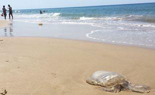 Méduse rhizostome échouée sur la plage de Soulac-sur-Mer (Gironde), le 8 juillet 2018.