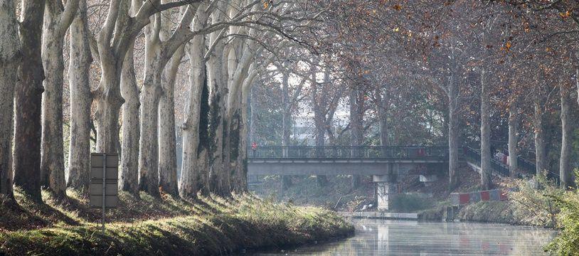 Les platanes du canal du Midi pourraient être sauvés grâce à un vaccin.