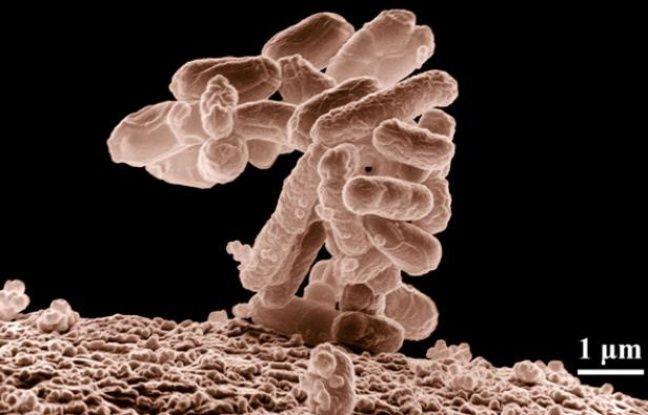 La bactérie Escherichia coli (E-coli).