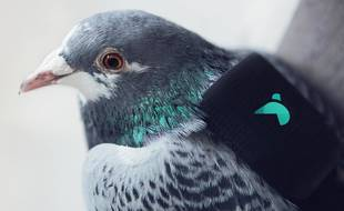 La ville de Londres a équipé dix pigeons de petits sacs à dos embarquant des instruments mesurant la qualité de l'air et transmettant les données sur Twitter.