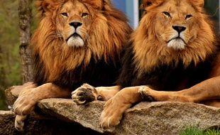 Des lions. Illustration.
