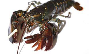 Un homard (illustration).