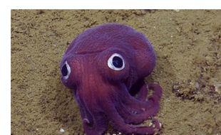 Une étonnante pieuvre de couleur violette et aux yeux semblant écarquillés a été découverte en août 2016 lors d'une expédition scientifique menée au large de la Californie (Etats-Unis).