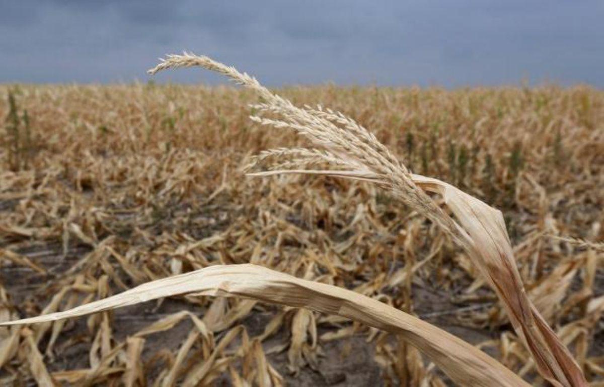 L'agriculture a de tous temps été soumise aux caprices de la météo. Mais le réchauffement climatique et sa cohorte d'incidents extrêmes contribue à transformer le marché des céréales, désormais largement globalisé, en un investissement très spéculatif. – John Moore afp.com