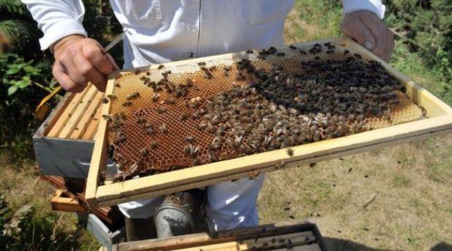 le virus du varoa accus de tuer des millions d 39 abeilles dans le monde. Black Bedroom Furniture Sets. Home Design Ideas
