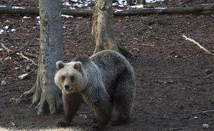 Un ours slovène, comme ceux qui ont été réintroduits dans les Pyrénées. Illustration.