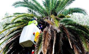 Le dispositif est à l'essai sur 50 palmiers