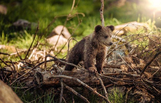 Douillous, l'ourson fugueur, a regagné les Pyrénées