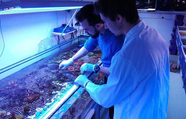 De nombreux coraux sont cultivés dans un laboratoire marseillais, notamment à des fins médicales