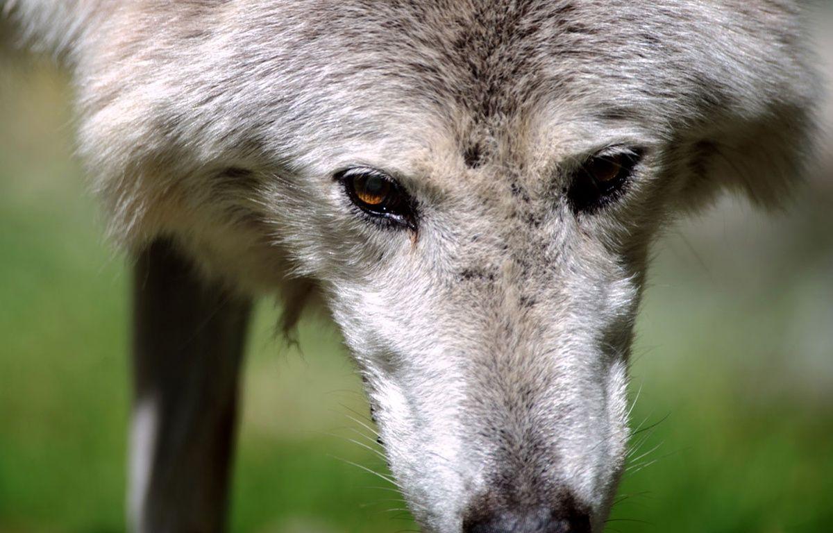Un loup au zoo de Mulhouse. – SEBASTIEN BOZON/AFP