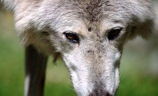 Un loup au zoo de Mulhouse.