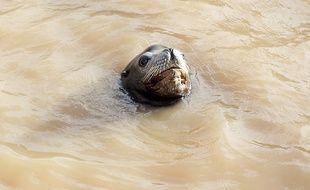 Une otarie nage dans son bassin souillé par la vague qui a frappé Marineland dans la nuit de samedi à dimanche.