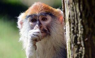 Treize singes patas ont péri dans l'incendie d'un parc safari anglais (illustration).