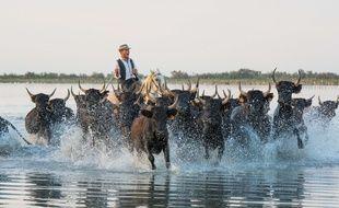 Un gardian entouré de  taureaux en Camargue en juillet 2015