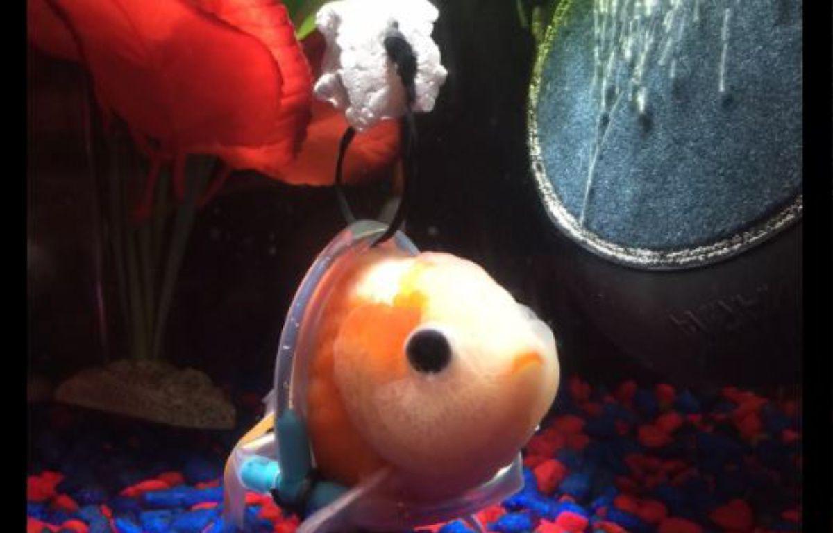 À cause de problèmes de vessie, le petit poisson restait bloqué au fond de l'aquarium. – Capture Twitter
