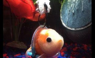 À cause de problèmes de vessie, le petit poisson restait bloqué au fond de l'aquarium.