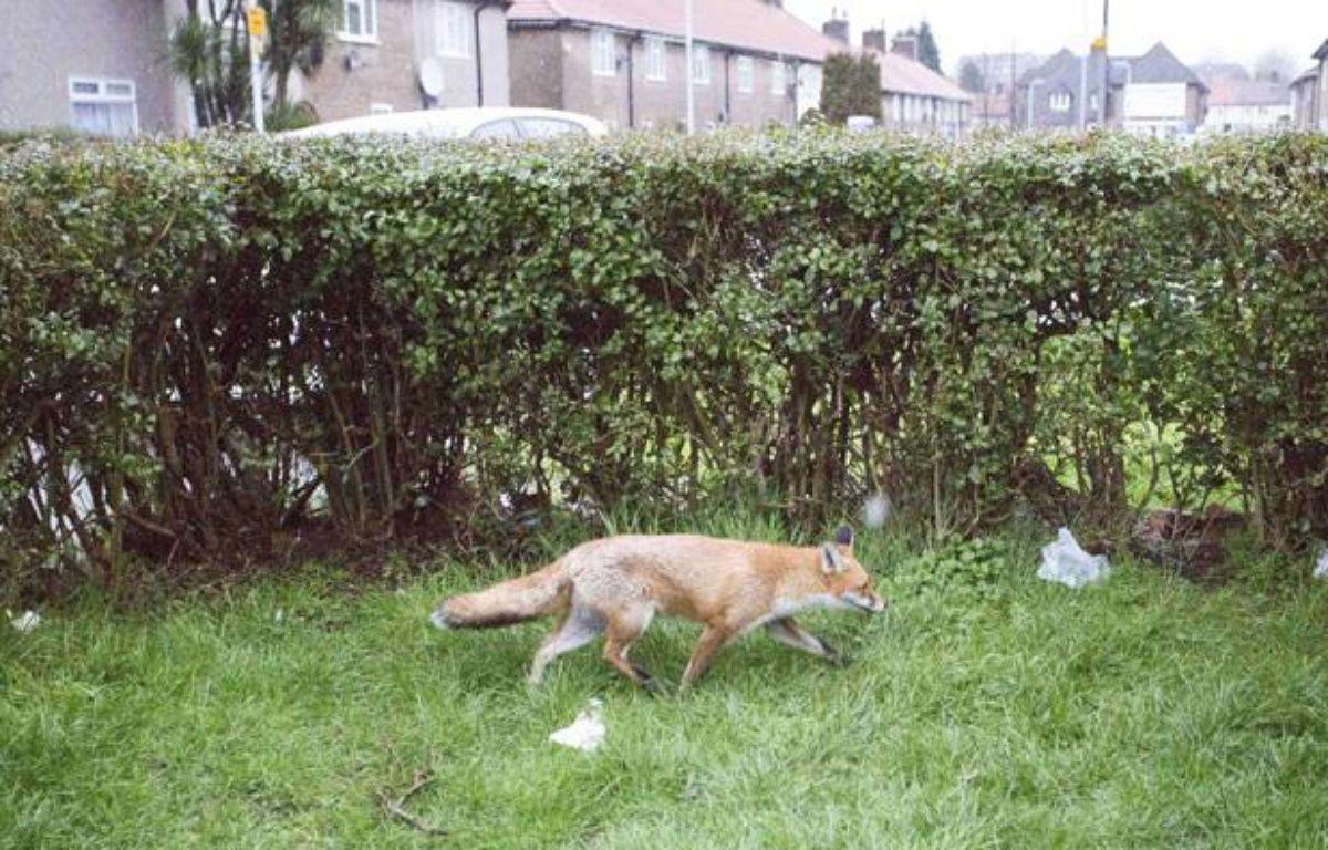 Un renard dans le jardin d'une résidence londonienne, le 10 février 2013. – Photo by Invicta Kent Media / Rex Features