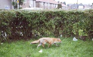 Un renard dans le jardin d'une résidence londonienne, le 10 février 2013.