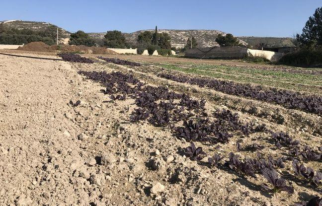 Près d'une dizaine de variété de salades et de jeunes pousses sont cultivés sur les hauteurs de Marseille.