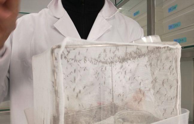 Une cages à moustiques dans une moustiquaire elle-même dans un box fermé dans un laboratoire du le nouvel insectarium de l'université de Strasbourg.