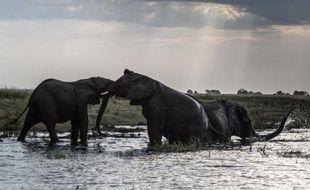 Des éléphants prennent leur bain le 20 mars 2015 à la tombée du soleil dans les eaux du fleuve Chobe, au Botswana