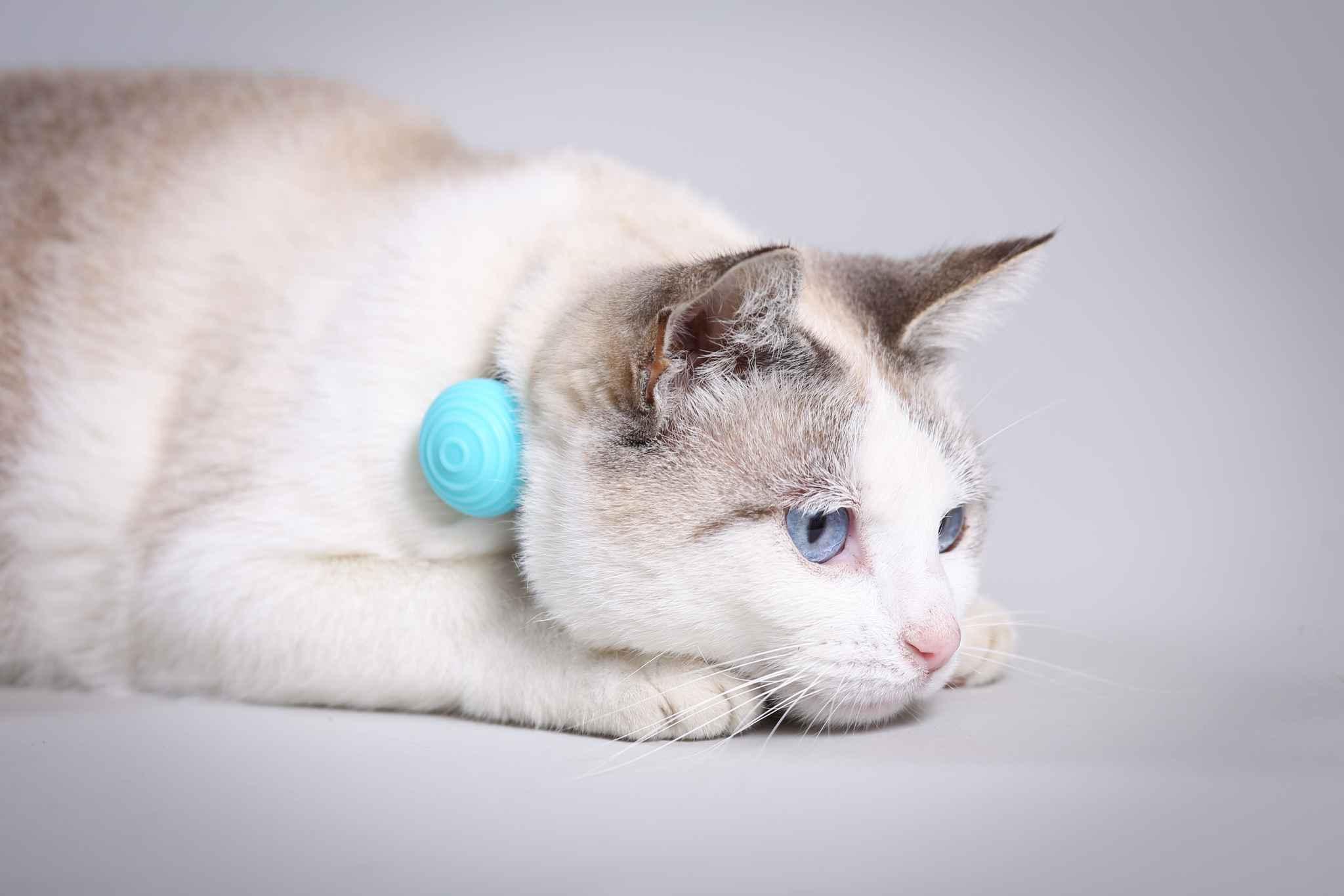 une start up tarnaise invente le collier connect qui permet votre chat de garder la ligne. Black Bedroom Furniture Sets. Home Design Ideas