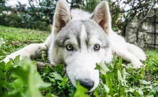 Un husky sibérien comme ceux qui sont au centre de cette affaire à Montvalent.
