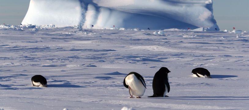 Les manchots Adélie sont directement menacés par la fonte des glaces causée par le réchauffement climatique.