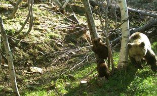 Deux des trois oursons de l'année repérés en mai 2015 en Catalogne.