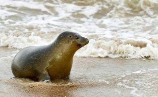 Le Parc National Marin Sea Life de Blankenberge a procédé au relâcher de  cinq jeunes veaux marins (phoques) sur la place de la station balnéaire  de Koxijde près de la frontière franco-belge. Koxijde, le 25 novembre 2011.