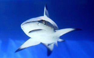 """Accusée d'être le """"garde manger"""" des requins et responsable de la recrudescence de leurs attaques, la Réserve marine de la Réunion réfute ces critiques avec force, mettant en avant la faible augmentation de poissons dans le sanctuaire, depuis sa création en 2007."""