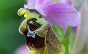 La fameuse orchidée, une Ophrys de Ficalhoana, jamais vue jusqu'ici dans la Haute-Garonne.