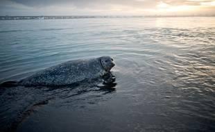 Le phoque qui pèse plus de 200 kg a été retrouvé sur une piste d'aéroport.