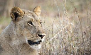 Une lionne photographiée le 18 novembre 2012 dans un parc national du Zimbabwe.