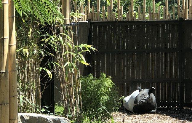Pinola, femelle tapir malais, sera l'une des stars de la nouvelle forêt asiatique du zoo de la tête d'Or.