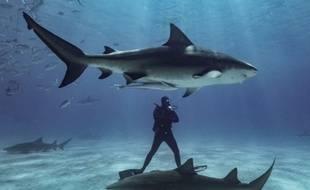 Un plongeur nage parmi les requins au large des côtes de Freeport aux Bahamas