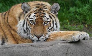 Un tigre de Sibérie (image d'illustration)