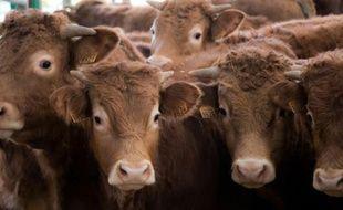 Des vaches du Limousin dans leur étable, le 17 décembre 2015 à Arras en France