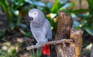 Le perroquet gris d'Afrique est menacé d'extinction