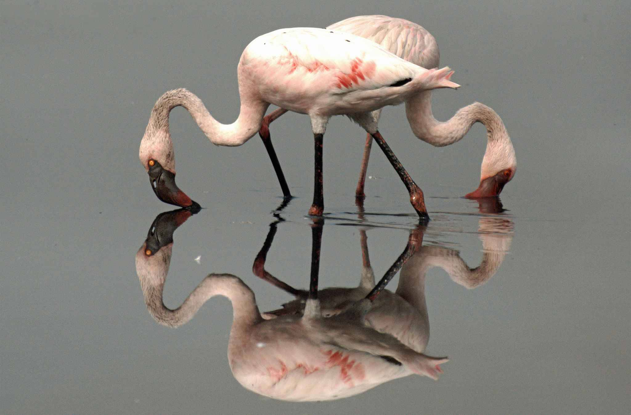 PIC BY VISHWANATH MADHUKAR SHINDE/CATERS NEWS - (PICTURED: Two flamingoes create a stunning four point reflection.) - These stunning mirror image shots reveal the beauty in still water. From stags captured in the UK in the golden light of dawn to explorers appearing to walk on water at the salt flats of Bolivia, the gallery proves sometimes the only prop a photographer needs is H20.