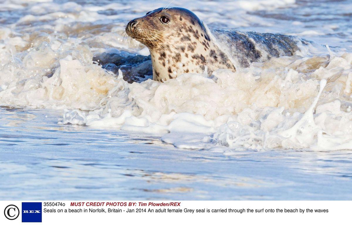 Le phoque gris est l'une des espèces menacées par ces agents pathogènes. Le toxoplasma gondii a tué 406 specimens dans l'Atlantique Nord en 2012. – Tim Plowden/REX/REX/SIPA
