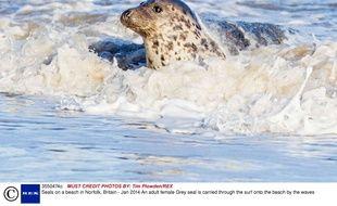 Le phoque gris est l'une des espèces menacées par ces agents pathogènes. Le toxoplasma gondii a tué 406 specimens dans l'Atlantique Nord en 2012.