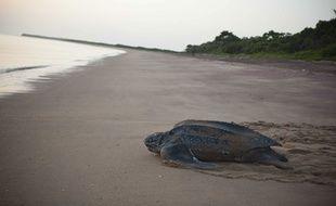 Les tortues luth sont de gros animaux qui peuvent atteindre 200 à 300 kilos et mesurer 1,80 m. (Photo d'illustration)