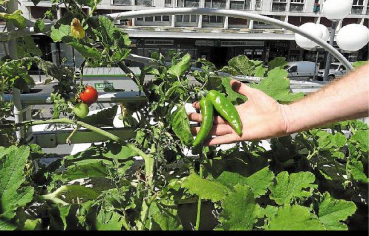 Piments et tomates poussent sur la terrasse de la Bibliothèque Centre-ville. –  M. PAVARD / PLEINS TITRES / 20 MINUTES