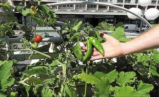 Piments et tomates poussent sur la terrasse de la Bibliothèque Centre-ville.